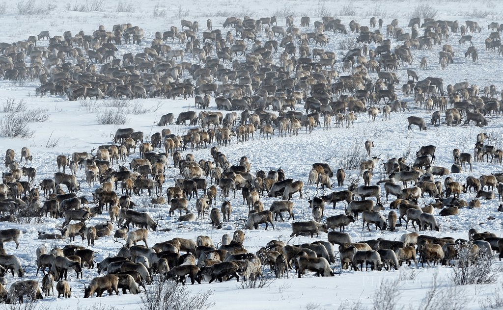 Reindeer Herd near the new Inuvik to Tuk Highway